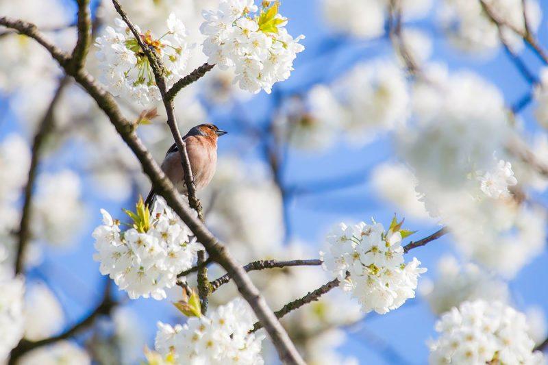 Drzewa dają schronienie licznym ptakom. Zobacz piękne aleje czereśniowe.