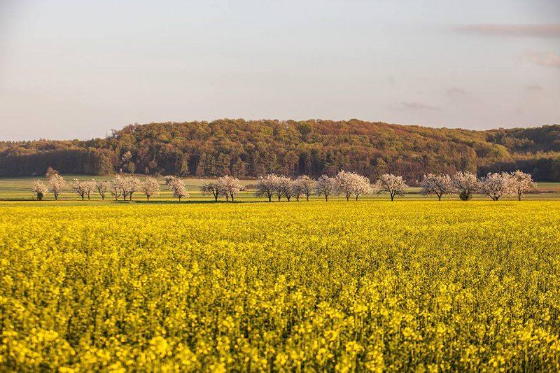 Aleja czereśni pomiędzy Ligotą Górną i Ligotą Dolną widziana z drogi wojewódzkiej nr 409 (Strzelce Opolskie - Gogolin)