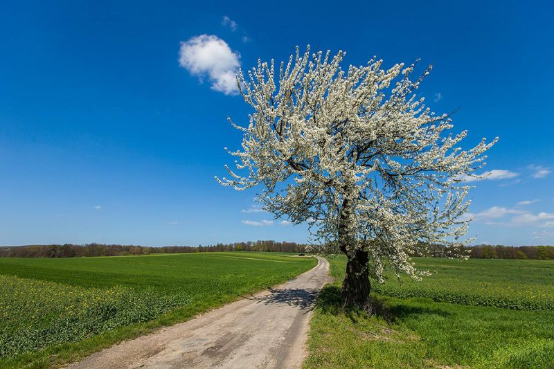 Jedno z kwitnących drzew czereśni przy drodze powiatowej z Zalesia Śląskiego do Czarnocina (rok 2016). Dziś niestety tego drzewa już nie ma ponieważ zostało złamane przez jesienną wichurę w 2016 r.